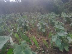 Phát triển khoai sọ nương dưới tán rừng trồng