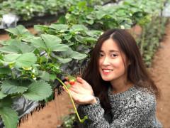 Vườn dâu tây Mộc Châu tại Hà Nội làm xôn xao giới trẻ chính thức đi vào hoạt động