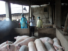 Yên Bái: Triển khai hai kịch bản ứng phó nhanh với bệnh Dịch tả lợn Châu Phi