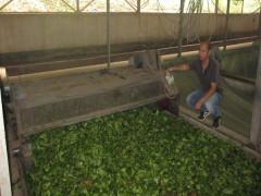Yên Bái: Tái cơ cấu ngành chè, để chè là cây trồng chủ lực của tỉnh