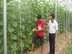 Trồng dưa bằng công nghệ cao ở xã thuần nông truyền thống