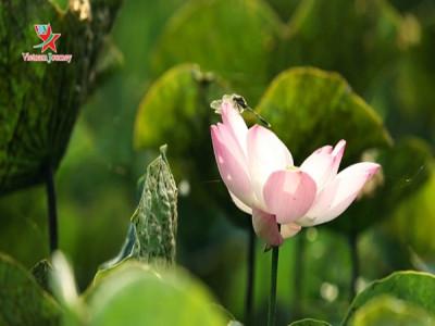 Đến Việt Nam ngắm nhìn sắc sen mùa Hạ