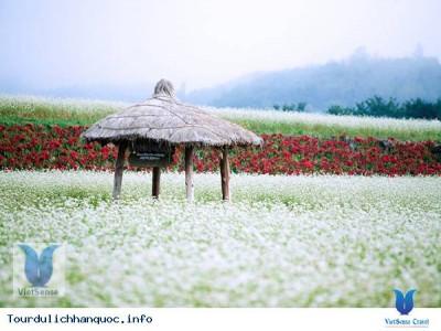 Lễ hội hoa kiều mạch hút khách ở Hàn Quốc