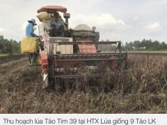 Trà Vinh:  giống lúa Táo tím, cho năng suất cao,   ngon cơm và chịu mặn đến 5‰