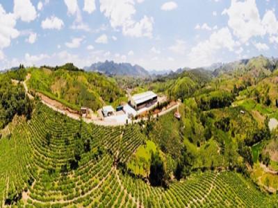 Hợp tác xã SXKD chè Vân Hồ: Phấn đấu xuất khẩu khoảng 500 tấn chè khô trong năm 2020