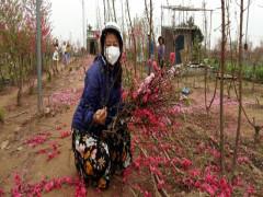 Đào Nhật Tân ế rụng đỏ vườn sau Tết: Giọt mồ hôi hoà nước mắt của nông dân!