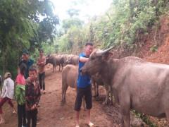 Phát triển chăn nuôi trâu, bò – hướng đi mới để tập hợp, đoàn kết thanh niên ở một xã vùng cao biên giới